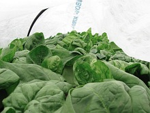 spinach under cloche_7354