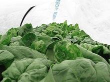 spinach under cloche_7354