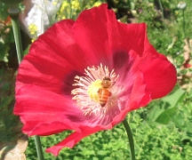 bee in poppy_9307