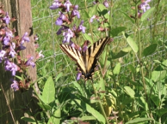 butterfly sage_8593