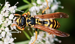 wasp with umbell