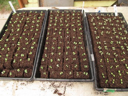 broccoli starts_4818